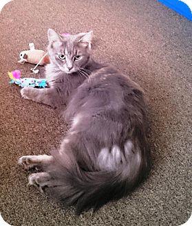 Domestic Longhair Cat for adoption in Burlington, Ontario - Charlotte