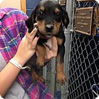 Adopt A Pet :: Chuck - Cashiers, NC