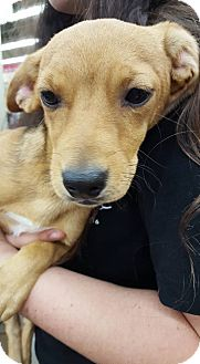 Terrier (Unknown Type, Medium) Mix Puppy for adoption in Fresno, California - Olive