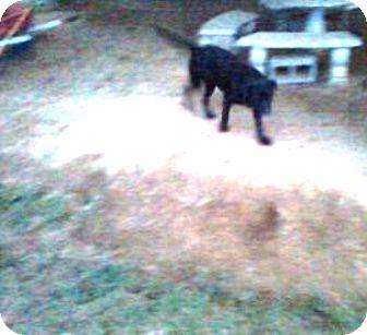 German Shepherd Dog/Labrador Retriever Mix Dog for adoption in Graceville, Florida - Queenie #2