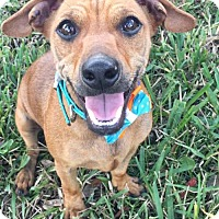 Adopt A Pet :: Rosabella - Weston, FL