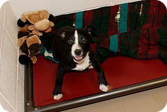 Labrador Retriever/Boxer Mix Puppy for adoption in Salem, West Virginia - Rogue
