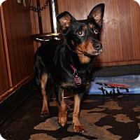 Adopt A Pet :: Iggy Bear - Los Angeles, CA