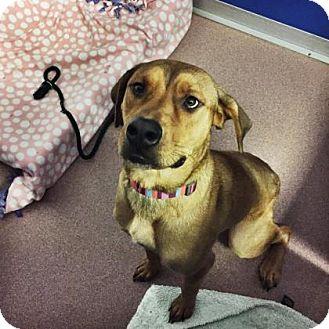 Rhodesian Ridgeback Mix Dog for adoption in Denver, Colorado - Cleatus
