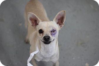 Chihuahua Mix Dog for adoption in Phoenix, Arizona - Pirata