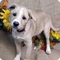 Adopt A Pet :: ARISSA - Westminster, CO