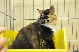 Domestic Mediumhair Cat for adoption in Pompano Beach, Florida - Roberta