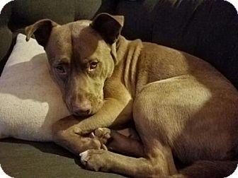 American Staffordshire Terrier/German Shepherd Dog Mix Dog for adoption in Seattle, Washington - Sarge