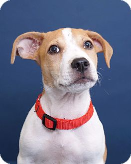 Beagle Mix Puppy for adoption in Sudbury, Massachusetts - Lee