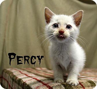 Siamese Kitten for adoption in Melbourne, Kentucky - Percy
