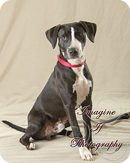 Great Dane Mix Dog for adoption in Newcastle, Oklahoma - Mario