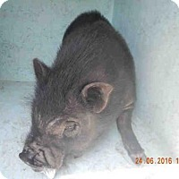 Pig (Potbellied) for adoption in Ocala, Florida - A172503