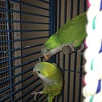 Parakeet - Quaker for adoption in Punta Gorda, Florida - Baby & Birdie