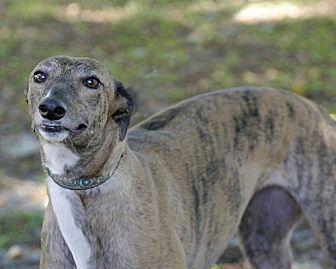 Greyhound Dog for adoption in Longwood, Florida - Roxie