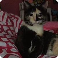 Adopt A Pet :: Poptart - O'Fallon, MO