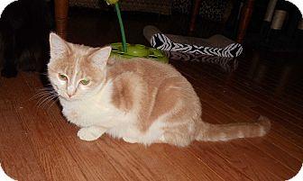 Domestic Shorthair Cat for adoption in Evans, West Virginia - Angel