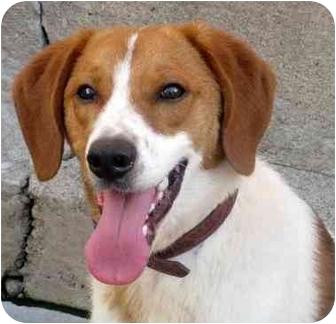 Brittany Dog Rescue Illinois