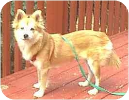 shiba inu mixed with pomeranian foxy adopted dog dewey az pomeranian shiba inu mix 9150