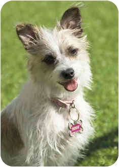 Jack Russell Terrier/Terrier (Unknown Type, Small) Mix Dog for adoption in Phoenix, Arizona - ROSIE