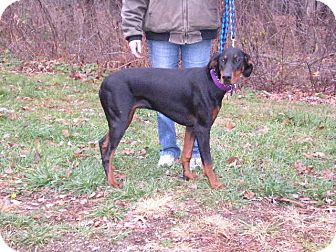 "Doberman Pinscher Dog for adoption in New Castle, Pennsylvania - "" Lilly """