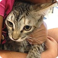Domestic Mediumhair Kitten for adoption in Schertz, Texas - Sweet Pea