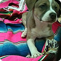 Adopt A Pet :: Maci (One of Molly's Pups) - Sacramento, CA