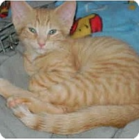 Adopt A Pet :: orange boy - Etobicoke, ON