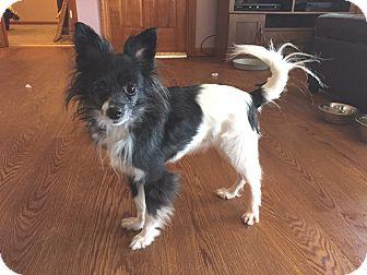 Conesus ny papillon mix meet bandit a dog for adoption for Papillon new york
