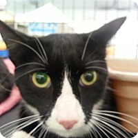 Domestic Shorthair Cat for adoption in Waxhaw, North Carolina - Chester