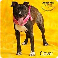 Adopt A Pet :: Clover - Topeka, KS