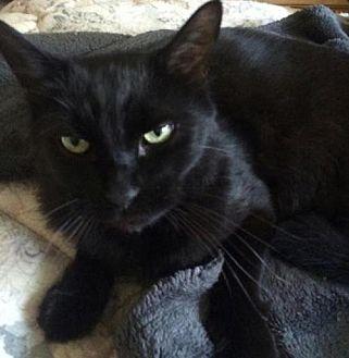 Domestic Mediumhair Cat for adoption in San Jose, California - Tyson