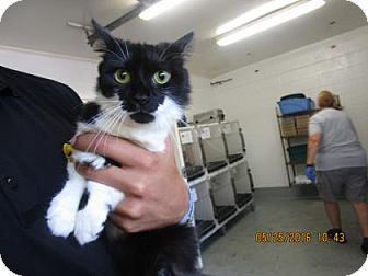 Domestic Longhair Cat for adoption in Greenville, North Carolina - Jupiter