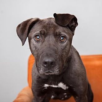 American Staffordshire Terrier/German Shepherd Dog Mix Dog for adoption in Mission Hills, California - Scoobie