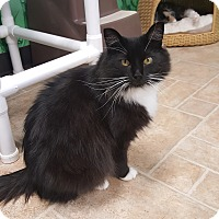 Domestic Longhair Cat for adoption in Cody, Wyoming - Betty
