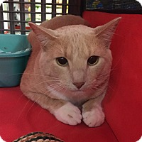 Domestic Shorthair Cat for adoption in Rochester, Minnesota - Tuffy