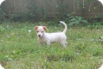 Dachshund/Terrier (Unknown Type, Medium) Mix Puppy for adoption in Mechanicsburg, Pennsylvania - Juliet
