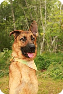 German Shepherd Dog Dog for adoption in Portland, Oregon - Klugen
