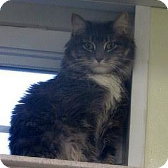 Domestic Longhair Cat for adoption in Janesville, Wisconsin - Harry