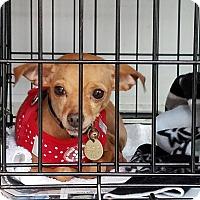 Chihuahua Mix Puppy for adoption in Hamilton, Ontario - Lea