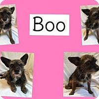 Adopt A Pet :: BOO - Plano, TX