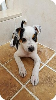 Cattle Dog Mix Puppy for adoption in Key Largo, Florida - Peter