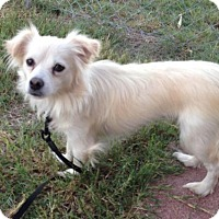 Chihuahua/Papillon Mix Dog for adoption in Forreston, Texas - Annie Bunny
