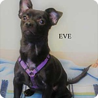 Terrier (Unknown Type, Small) Mix Puppy for adoption in Warren, Pennsylvania - Eve