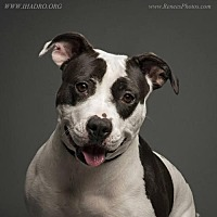 Pit Bull Terrier Mix Dog for adoption in Blacklick, Ohio - Sonya