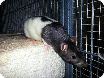 Rat for adoption in Lakewood, Washington - Tinkerbelle