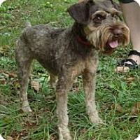 Adopt A Pet :: Scruffy - Brattleboro, VT
