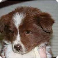 Adopt A Pet :: Cheyenne - Mesa, AZ