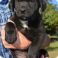 Adopt A Pet :: *Sunshine - PENDING - Westport, CT