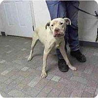 Adopt A Pet :: CLYDE - Malibu, CA