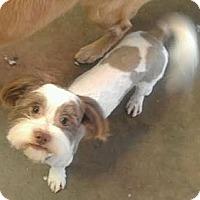 Adopt A Pet :: Jason - NON SHED - Phoenix, AZ